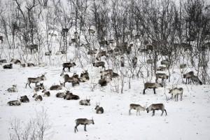 Reindeers in Gällivare/Sweden
